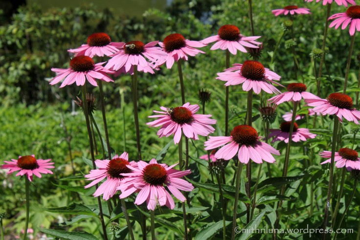 July blooms - Echinacea at Longwood Garden. PA