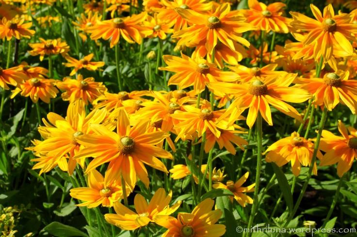 Gloriosa daisies at Longwood Gardens, PA