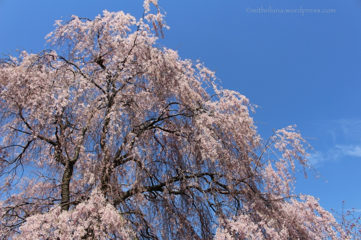 Weeping cherry tree, Branch Brook Park, Newark, NJ