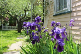 Iris in my father-in-law's yard
