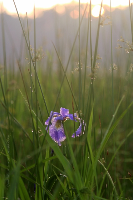 Wild Iris, Great Swamp National Refuge