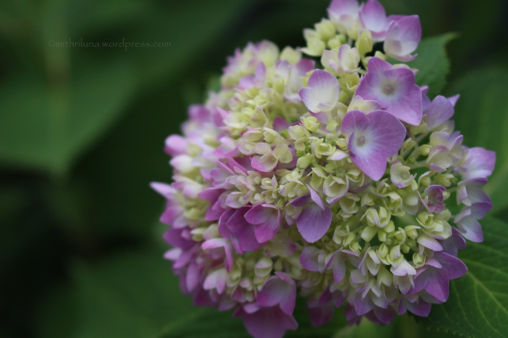 Hydrangea, Berkeley Heights, NJ