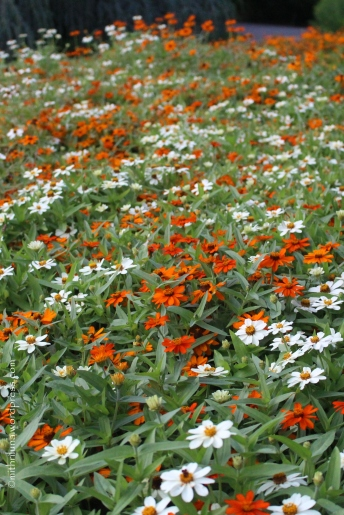 A sea of orange and white zinnias