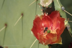 Prickly pear cactus bloom - Desert Botanical Garden