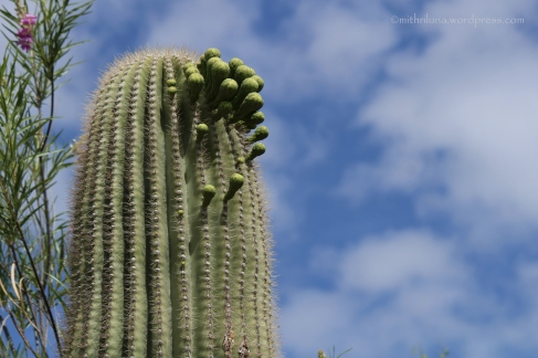 Saguaro about to bloom - Desert Botanical Garden