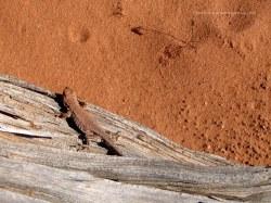 Desert lizard, Arches NP, Utah