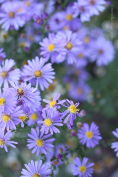 Blue Asters, NJ