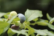 Blueberries in my garden