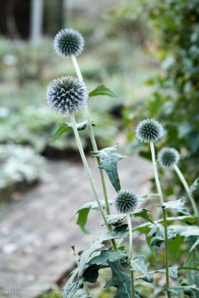 Echinops - Cross Estate Gardens, Morristown, NJ