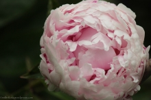 The last of my peonies