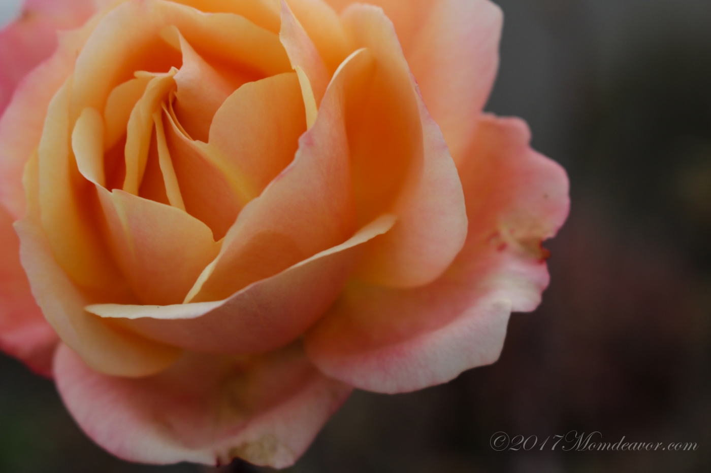 California Rose