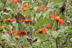 Monarch, Rutgers Gardens, NJ